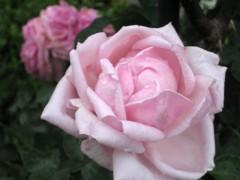 プロポーズには薔薇を。