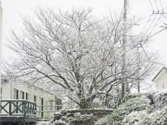 ヒュッゲ桜も雪化粧。
