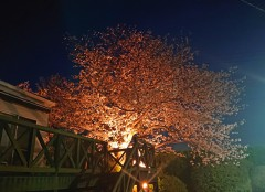 夜桜お七。