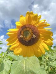 空と蜂と向日葵と