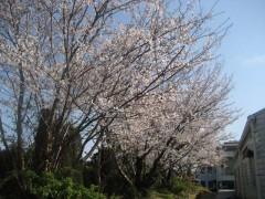 奇跡のヒュッゲ桜